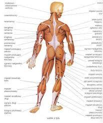 mięśnie od tyłu